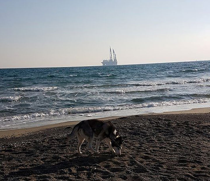 Female husky at the beach