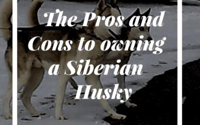 pros and cons to owning a Siberian Husky